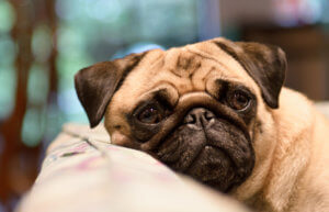 Heene Road Vets - Brachycephalic dogs - wp